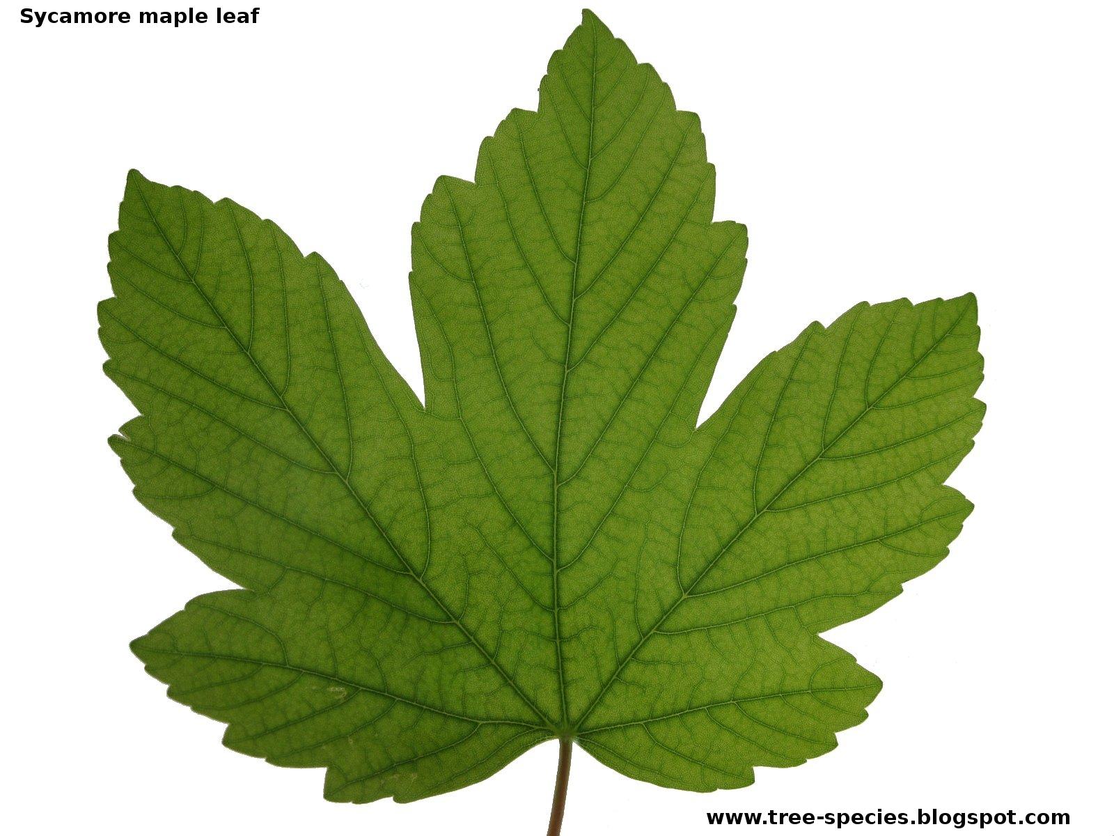 Acer pseudoplatanus L Sycamore maple leaf